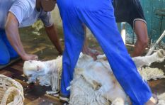 SA Mohair industry (world's largest) face extinction after Peta video/global ban