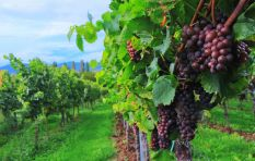 Economist: Spike in grape prices inevitable amid drought