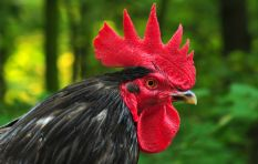 Criminal charges laid against culprit of Stellies rooster assault