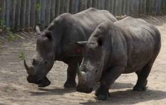 Rhino poaching under CoP17 spotlight