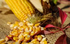 SA may soon again be net exporter of maize, if rains don't let up