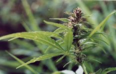 Parliament has 24 months to make dagga legal at home