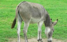 SA donkey's reportedly in demand in China