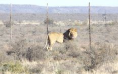 3 alternative options for Sylvester the lion once he's recaptured