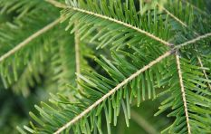 Cape company delivers pine trees every year to meet demands of Christmas craze
