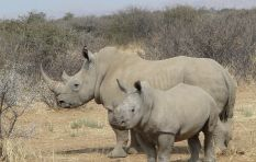 Rhino horn trade soon to be legal in SA