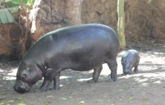 Baby pygmy hippo out on show after being moved to new home