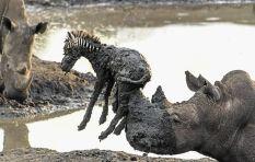 Rough Rhino rescues stranded baby zebra