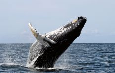 Humpback whales return to Saldanha Bay after 50 year hiatus
