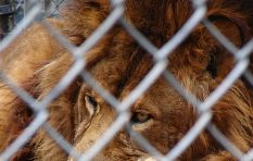 Lion conservationist explains why lion petting is a no-no