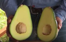 [WATCH] Massive avos dubbed 'avozillas' are as big as your face