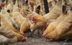 Farmers cautioned to vaccinate against bird flu