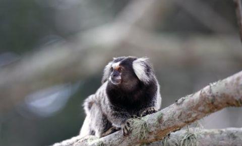 Black-tufted Marmoset-monkey-zoo-animal-nature