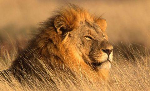 lion dinokeng