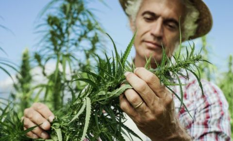 dagga-weed-hemp-farmer-plant-farming123rfjpg