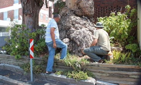 gum-tree-poisoning-city-of-cape-townjfif