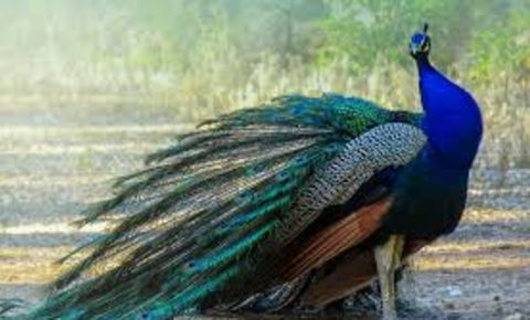 peacock-pixabaycom