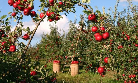 apple-orchard-farm-treesjpg