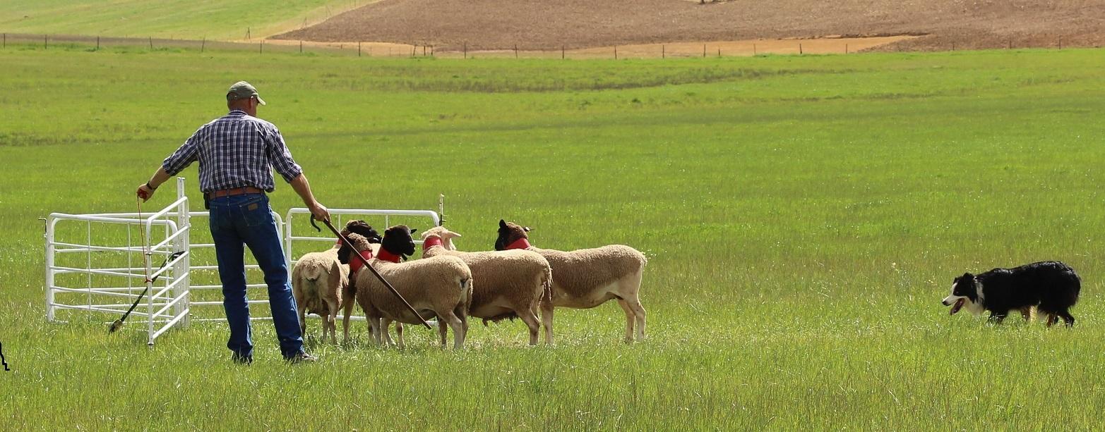 Western Province Sheepdog Trial