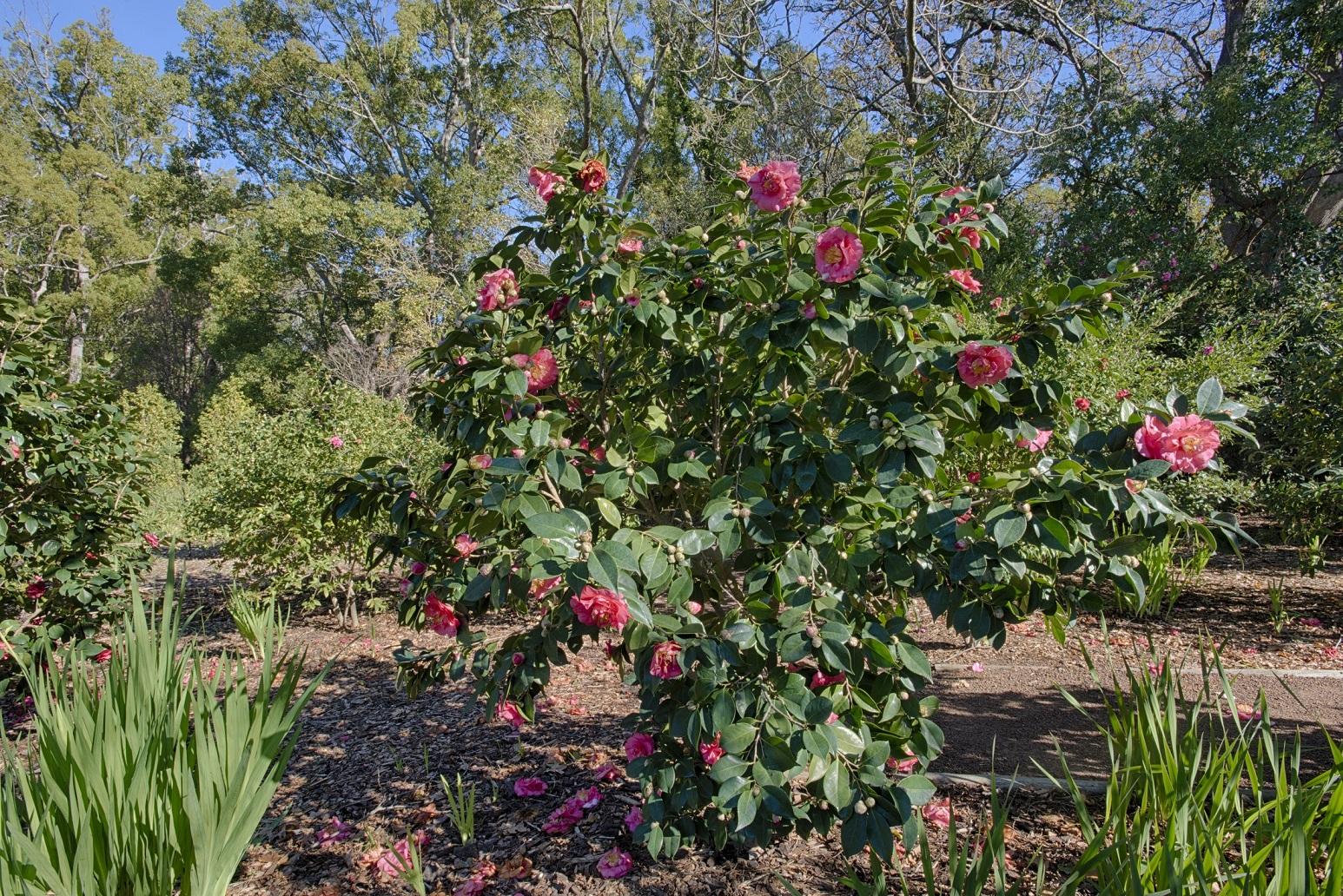Camellia Weekend at Vergelegen wine estate Somerset West