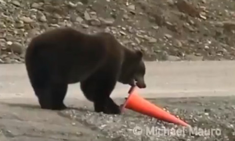 grizzly-bearpng