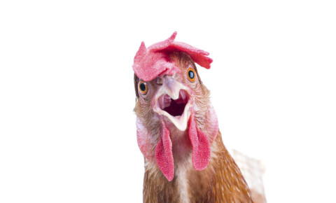 Chicken funny 123rf