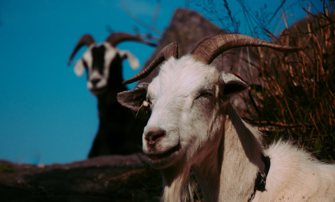 goat-animal-pexels-photo-2860869jpeg