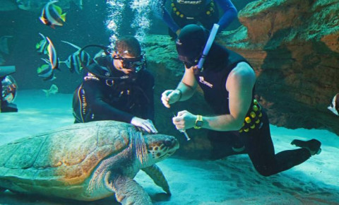 Yoshi the Loggerhead Turtle