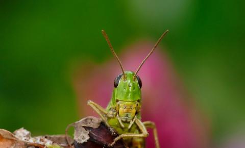 Grasshopper locust pixabay