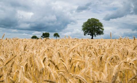 wheat-fieldjpg
