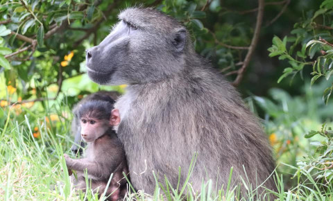 Kremi, adult male of the Da Gama Troop with baby