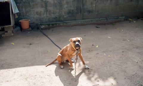 dog chain animal cruelty dog fighting American Pit Bull Terrier 123rf