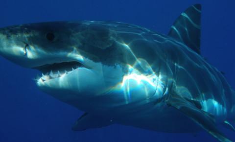 171227great-white-shark-jpg