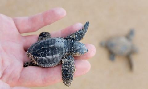 hand-holding-loggerhead-turtle-hatchlingjpg