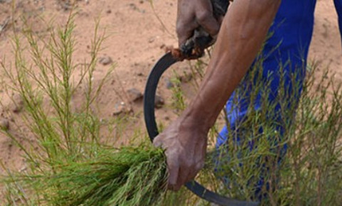 A worker harvests rooibos from a plantation in the Cederberg district