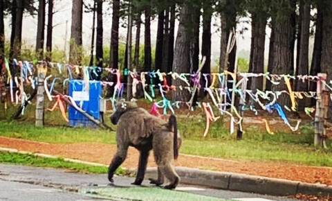 Baboon Kataza walks past the memorial to slain Franziska Blochliger in Tokai