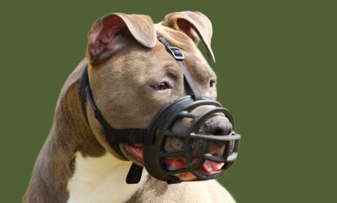 Staffordshire terrier dog muzzle 123rf