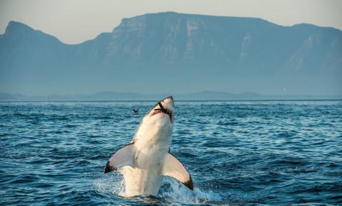Great White shark 123rf 123rflifestyle
