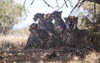 A mother Cheetah, Chilli and her cubs. Picture: Cindy Archillies/EWN
