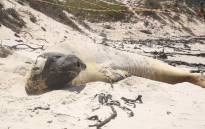 A southern elephant seal who's made himself at home in Fish Hoek Beach could be here for another few weeks. Picture: Bertram Malgas