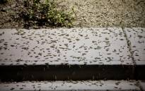 Grasshoppers swarm a sidewalk a few blocks off the Strip on 26 July 2019 in Las Vegas, Nevada. Massive swarms of grasshoppers have descended on the Las Vegas Strip this week, startling tourists and residents as they pass through town on their northbound migration. Picture: AFP.