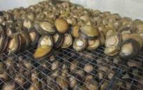 FILE: Abalone confiscated during a police raid. Picture: @SAPoliceService/Twitter