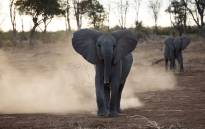 Young elephants pictured walking around the Venetia Limpopo Nature Reserve. Picture: debeersgroup.com
