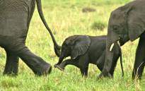 An elephant cow and calf. Picture: Francis Garrard/Conservation Action Trust.