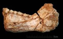 The mandible Irhoud 11 is the first, almost complete adult mandible discovered at the site of Jebel Irhoud. Picture: Jean-Jacques Hublin, MPI EVA Leipzig.