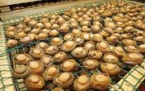 FILE: Abalone seized at a processing facility in Goodwood. Picture: Twitter/@SAPoliceService