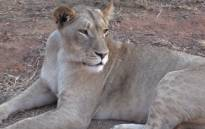 An American tourist was mauled to death by a lioness at the Lion Park near Lanseria on Monday 1 June 2015. Picture: Vumani Mkhize/EWN.