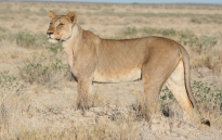 A lioness. Picture: Wikimedia Commons.