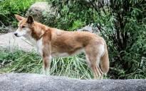 FILE: Australian Dingo. Picture: Pixabay.com