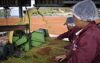 FILE: Farmworkers process rooibos in the Cederberg region. Picture: Aletta Harrison/EWN